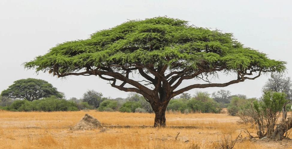 Quick Benefits of Acacia Wood acacia trees