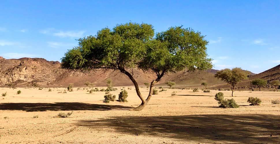 acacia wood tree growing in desert