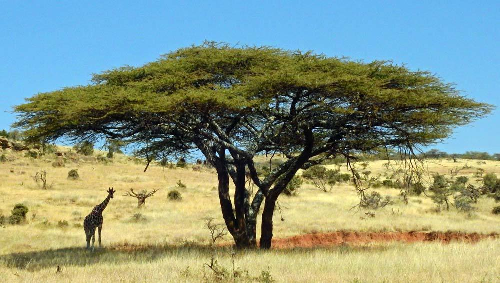 acacia wood tree surrounded by african animals