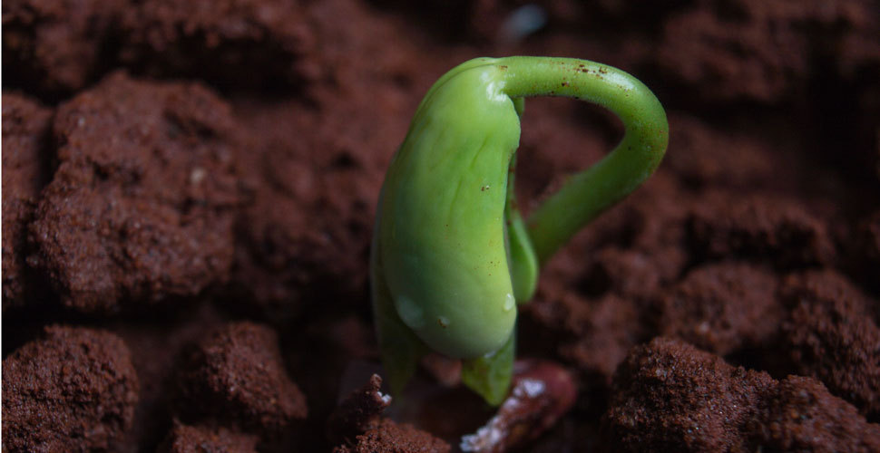 acacia tree sprouting in soil