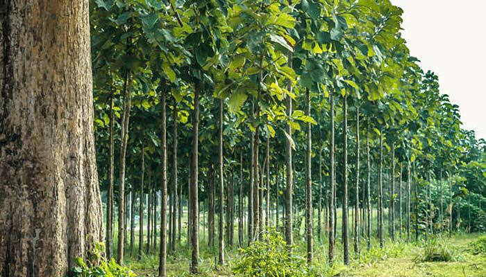 teak trees in a forest