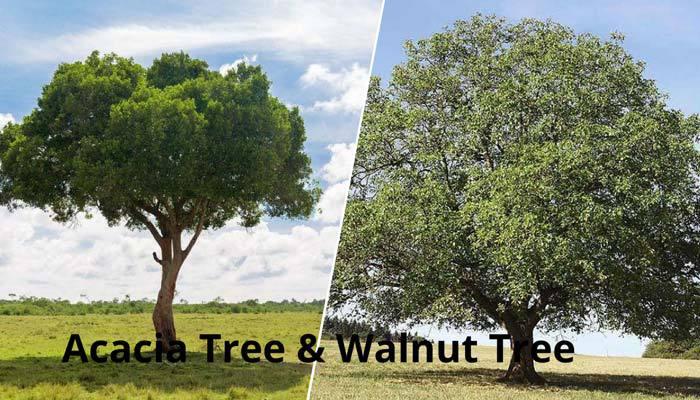 acacia vs walnut trees