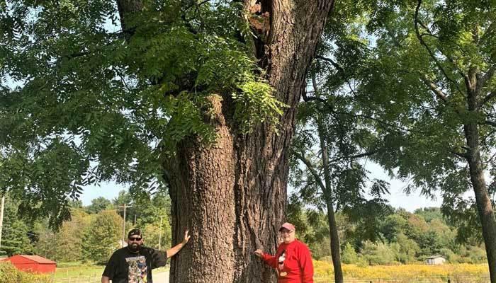 big walnut tree size
