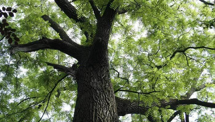 walnut tree information