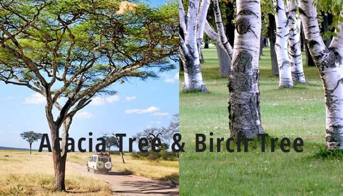 acacia-tree-and-birch-tree